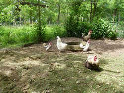 Gallinas de la casa rural Saint jacob Les fougerets Francia